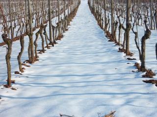 Vignoble_hiver-neige